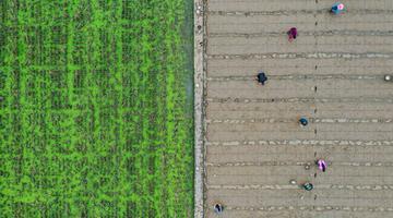播下种子 新的超级水稻将在这里诞生