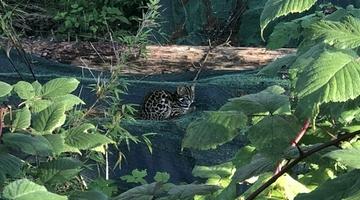 瓦屋山首次发现豹猫