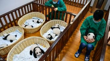 今年出生8只熊猫幼崽首次同框留影