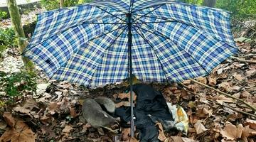 鼬獾误入民居 民警成功解救