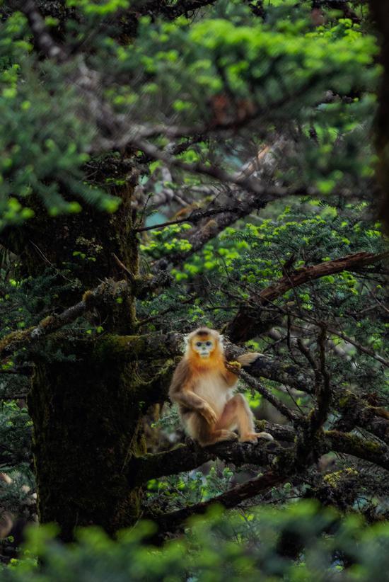 超萌!宝兴尖尖山上摄影爱好者偶遇金丝猴觅食