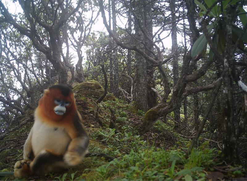 """""""猴出没""""!大熊猫国家公园成都片区发现金丝猴群"""