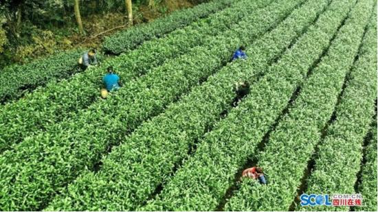 茶产业提档升级 东坡区茶农增收有底气
