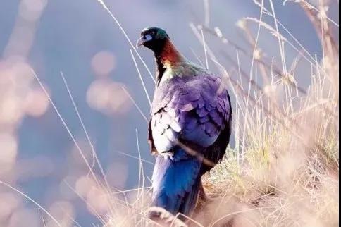 """石棉县栗子坪国家级自然保护区首次发现鸟中""""大熊猫""""——绿尾虹"""