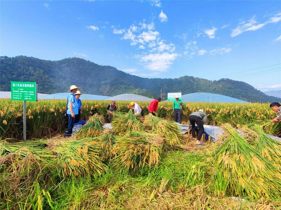 亩产1085公斤!第三代杂交水稻米易示范片水稻亩产创新高