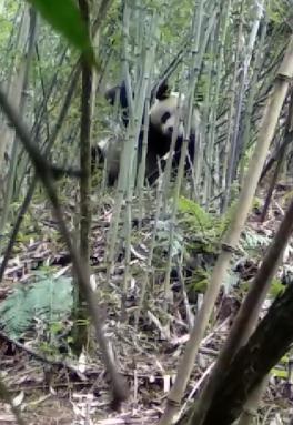 竹枝之间,一只熊猫悠然啃笋,一点不怕人。