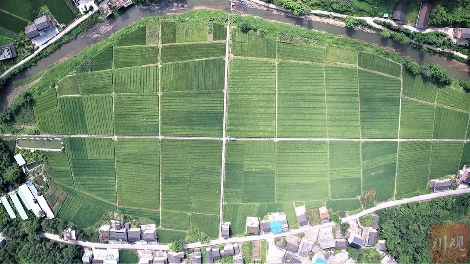 组图|三伏天,大竹县高明镇采用无人机辅助水稻扬花授粉