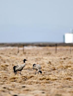 200只黑颈鹤先头部队千里迢迢飞抵若尔盖