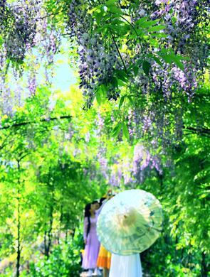 紫藤长廊花开如瀑 春光藏不住了