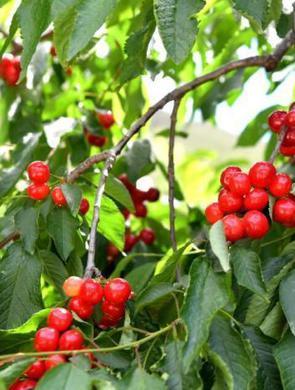 四川汶川甜樱桃映红枝头