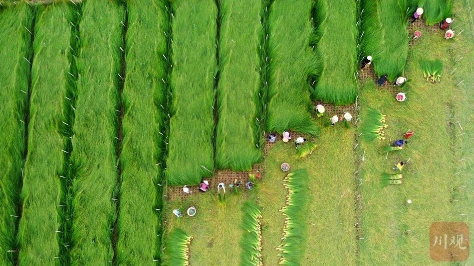 蔺草收割季!眉山东坡区种出增收致富大产业