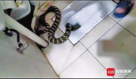 蔡先生家中卫生间发现的大王蛇。