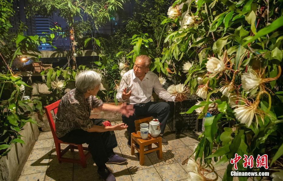 """四川成都:老人种养53年昙花""""树""""盛开百余朵花"""