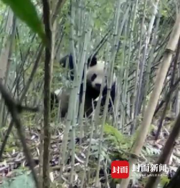 四川黑水河自然保护区又见熊猫。