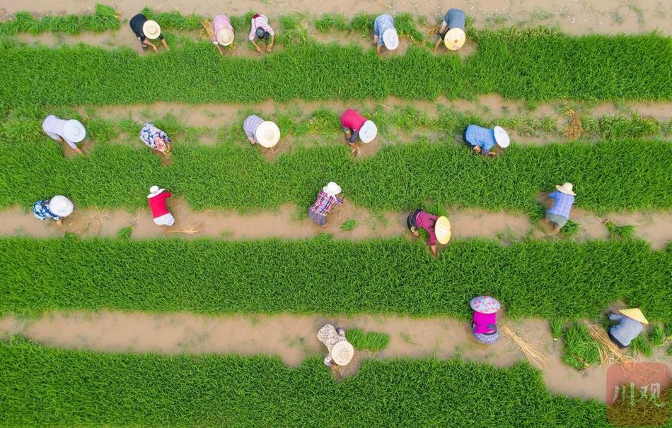 多图丨遂宁市安居区:抢抓农时插秧忙