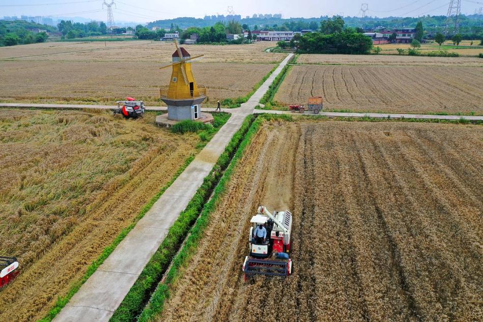 """新景观!天府新区麦子成熟,收割机带来""""丰收大片"""""""