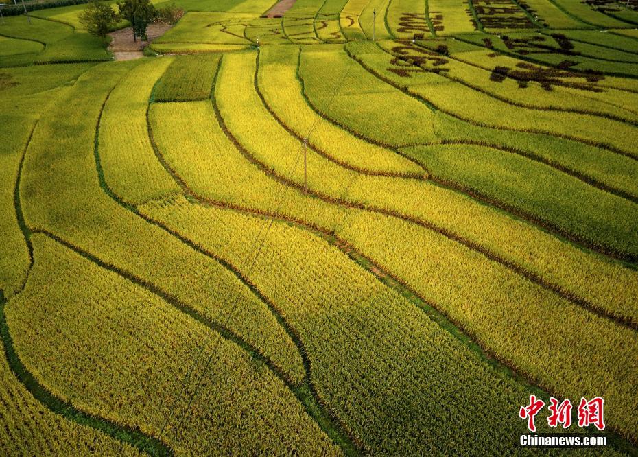 四川平武:金色稻田扮靓美丽乡村
