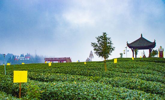 雨城区:管好满山小茶树 做好茶叶大文章