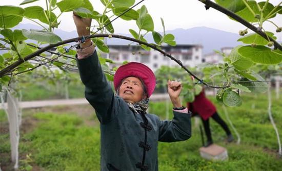 在芦山县某现代农业产业园中,工人正在为猕猴桃疏花