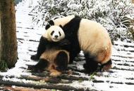成都大熊猫雪地里打滚撒欢