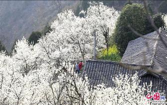 广元朝天樱花谷看花的海洋