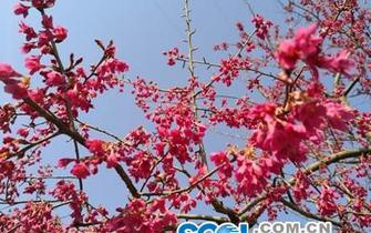 昭化区柏林沟等你看樱花