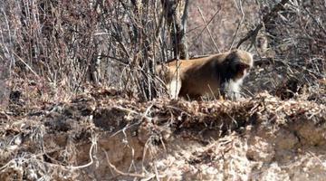 海拔3500米 甘孜白玉县现罕见短尾弥猴群