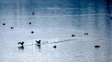 上千只野鸭子飞进天府公园秦皇湖过冬