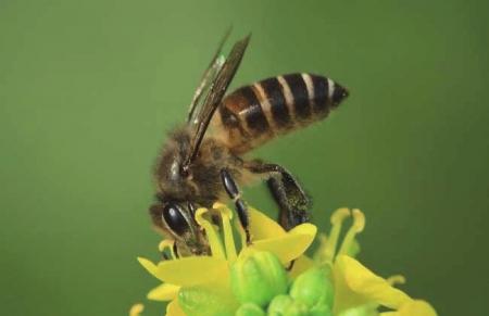辛勤采蜜的中华蜜蜂