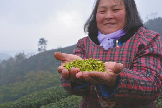 杨琴香说,她一天能采8斤鲜叶,每斤能卖80元。