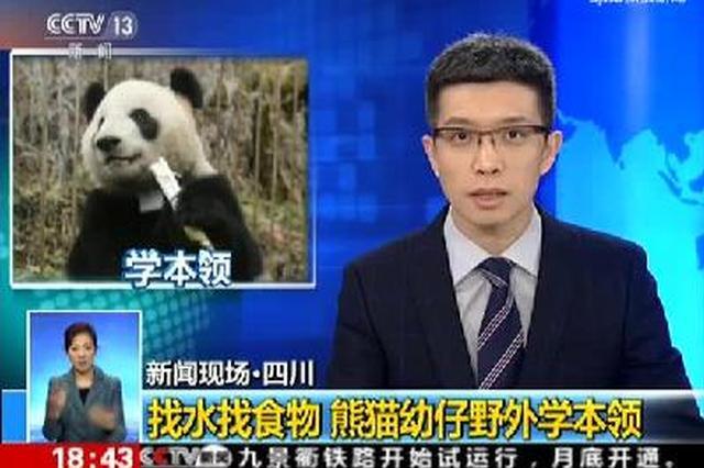找水找食物 四川熊猫幼仔野外学本领