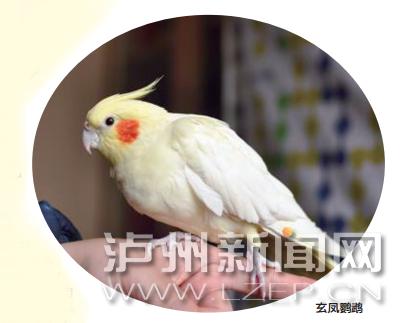 泸州市民网购玄凤鹦鹉被骗 民警跨省缉贼追回损失