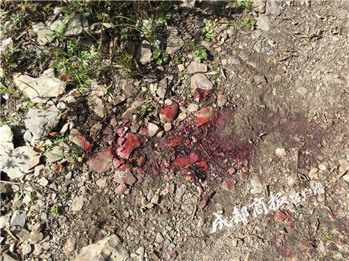 金钱豹捕鹿遭黑熊截胡 野外调查人员惊险目击猎杀现场