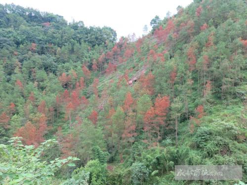 松树癌症致四川每年枯死松树10万株 黄山迎客松也病临山下