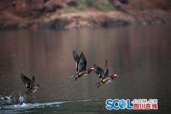 上万只水鸟宜宾越冬 大天鹅首次在宜宾境内发现