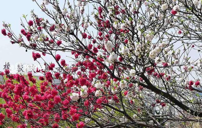 青岛一株碧桃竟然开出罕见双色花