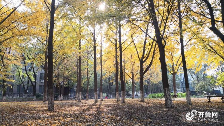 深秋校园如诗如画 银杏叶刷出秋天本色