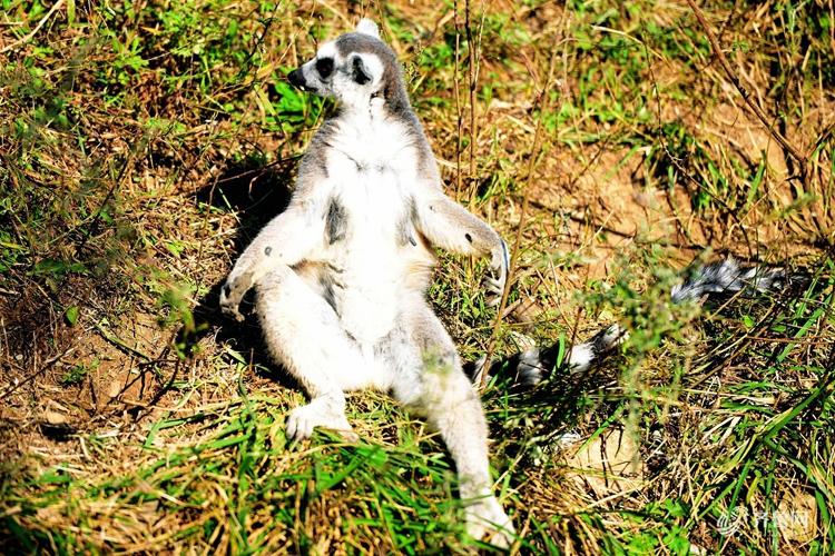 山东青岛:环尾狐猴打坐晒太阳 享受金秋暖阳