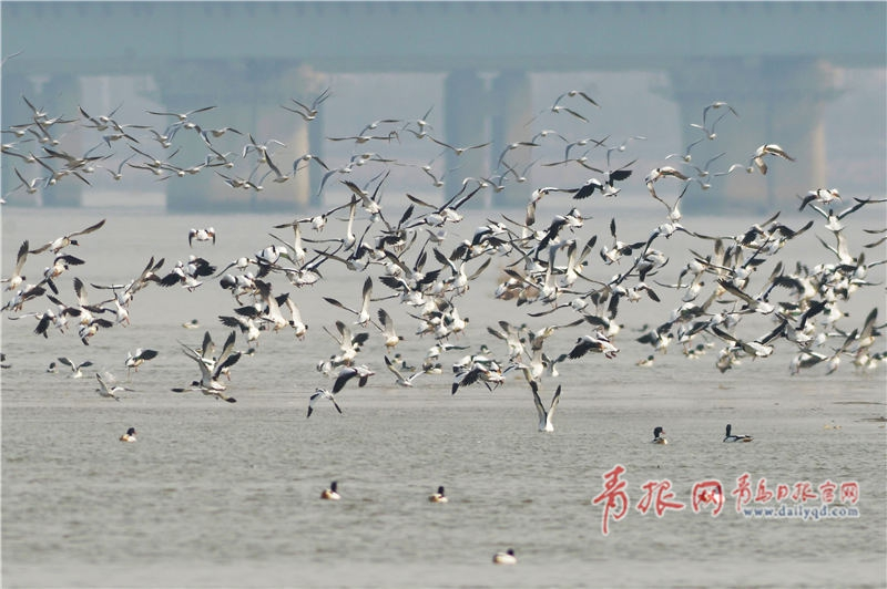 """青岛沿海滩涂变""""候鸟餐厅"""" 场面壮观"""