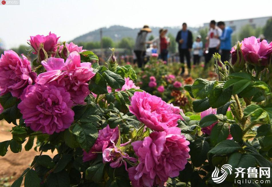平阴玫瑰进入盛花期