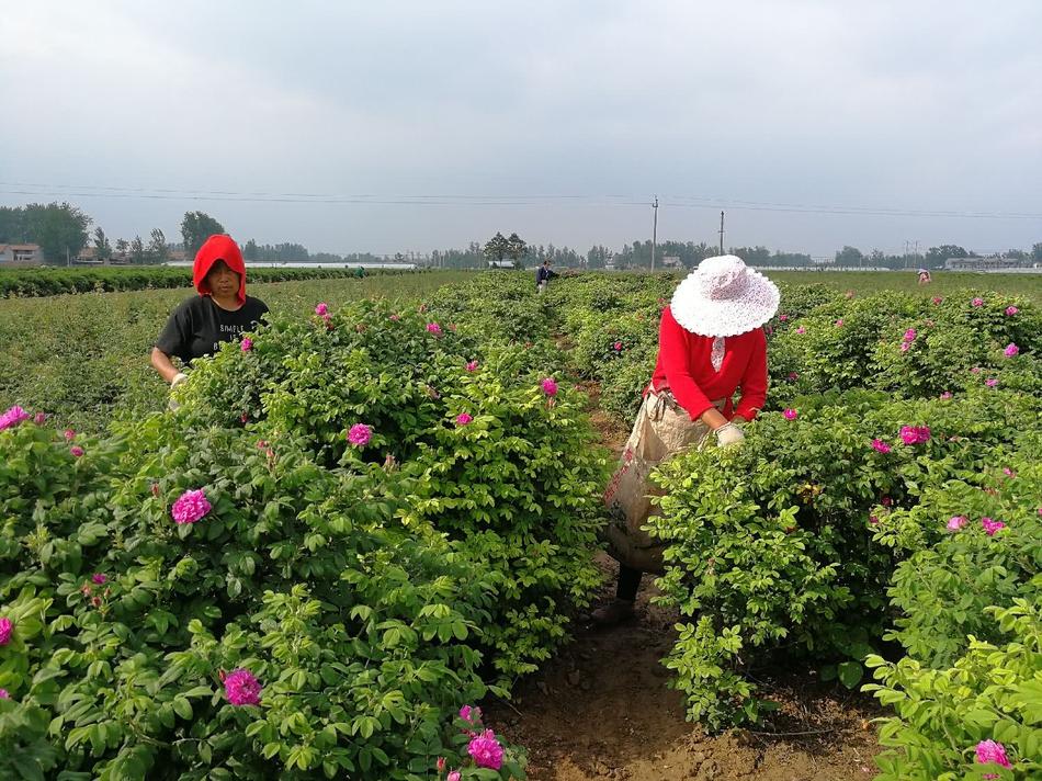 定陶玫瑰花价上涨被抢收