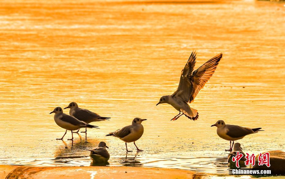 海鸥栖息甘肃天水 冰上嬉戏觅食