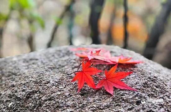 缓缓飘落的枫叶像思念。