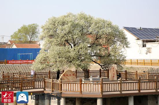 """阳信县万亩梨园风景区6万亩梨园成天然""""氧吧"""""""