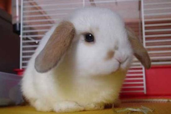 垂耳兔 资料图