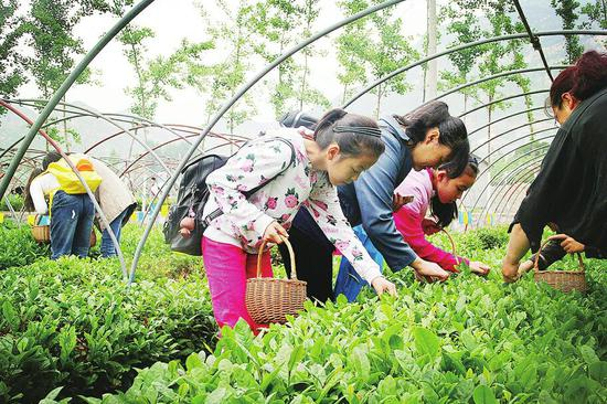 游客在马套村体验茶叶采摘。