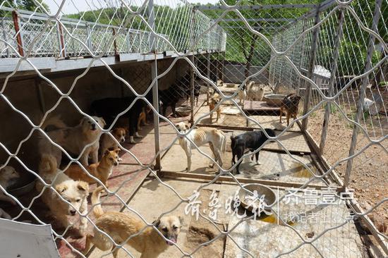 目前,泰山小动物保护中心有约20排狗舍,共收养着约800只狗。 记者 许建立 摄