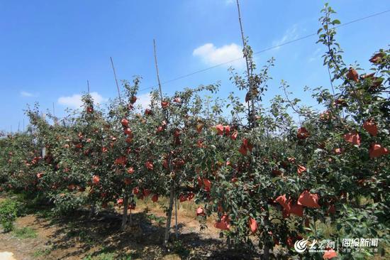 6月11日,在烟台栖霞,大部分果园里的苹果已经套上了袋