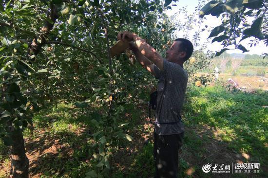 """6月12日下午,栖霞市松山街道河南夼村果农王国晓,正在给苹果""""套袋"""""""