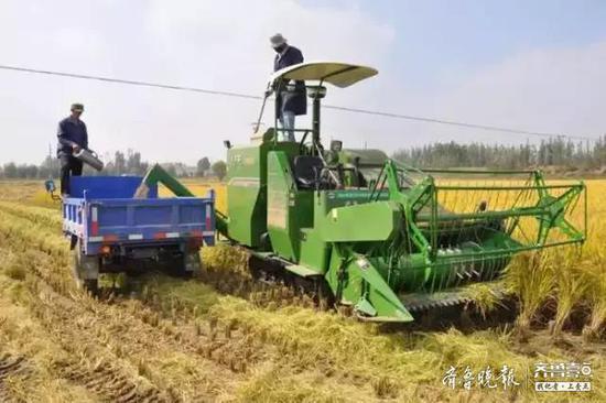 平均亩产628.7公斤 鱼台32万亩水稻喜获丰收